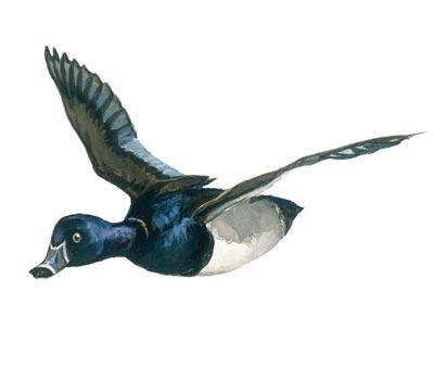 Canada goose hunting arkansas game and fish for Arkansas game and fish license